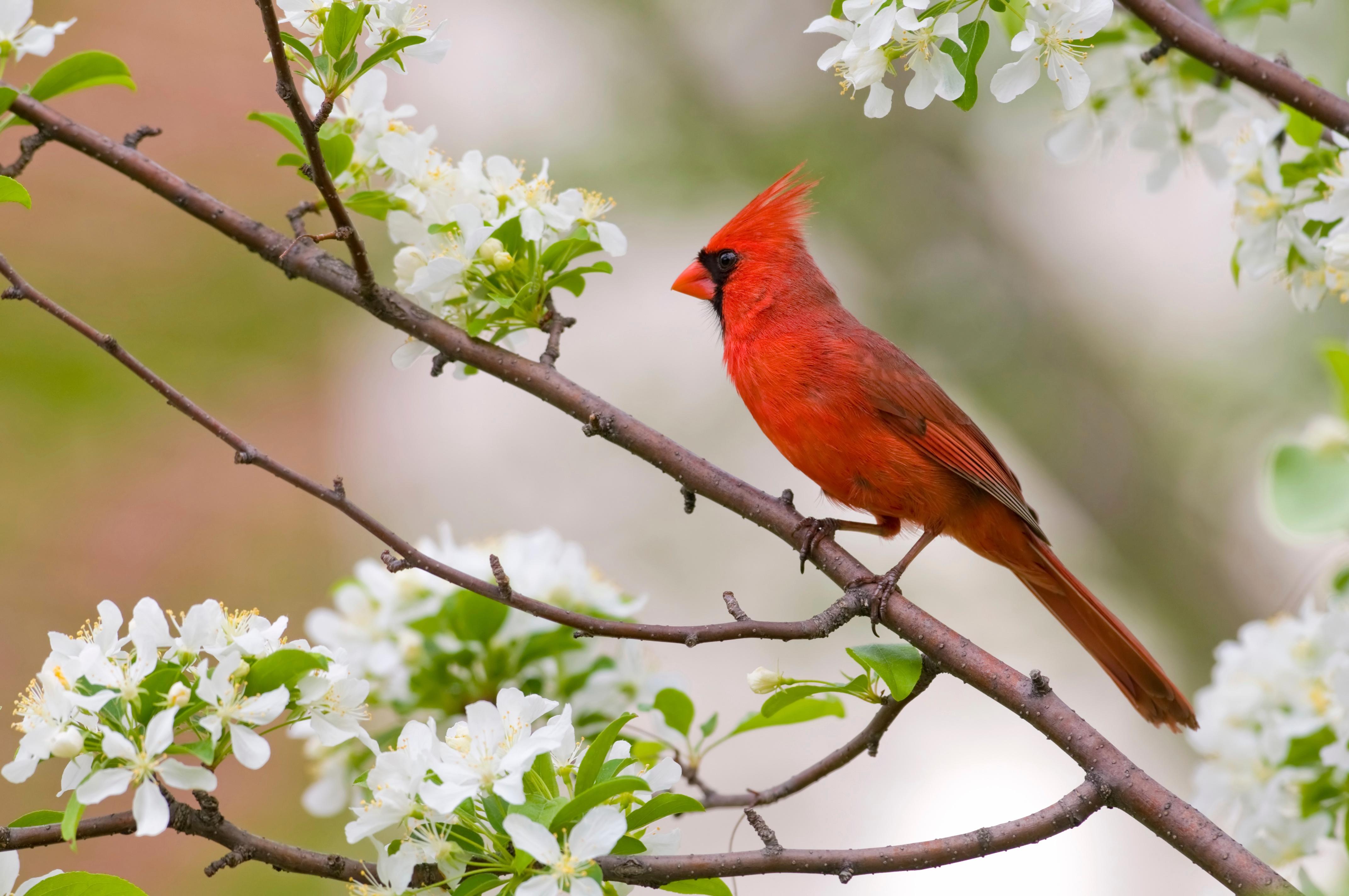virginia-cardinal-dogwood